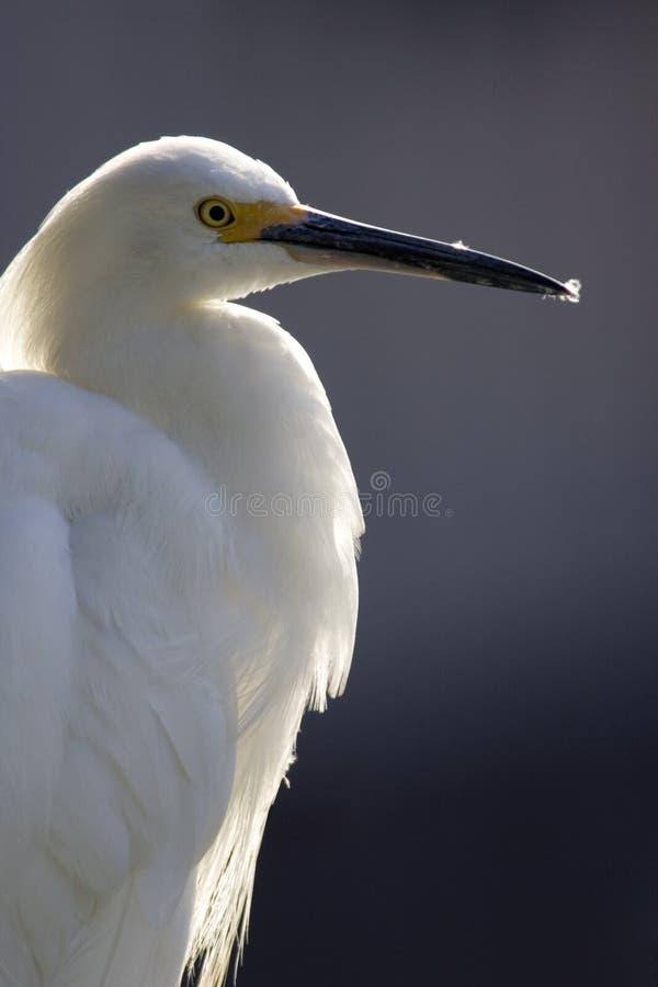 Indicatore luminoso posteriore del Egret immagine stock libera da diritti