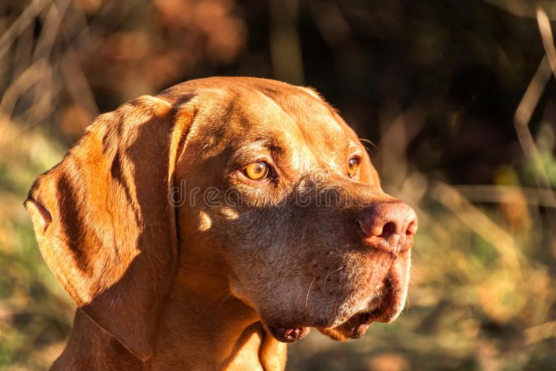 Indicatore ungherese Cacciatore di autunno Dettaglio della testa di cane Cane da caccia Vizsla immagini stock libere da diritti