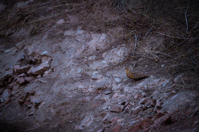 Indicus do Sandgrouse pintado ou do Pterocles perto do waterhole para extinguir a sede nos invernos na floresta do jhalana, jaipu imagens de stock