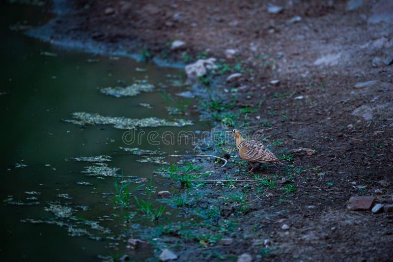Indicus do Sandgrouse pintado ou do Pterocles perto do waterhole para extinguir a sede nos invernos na floresta do jhalana, jaipu fotografia de stock royalty free