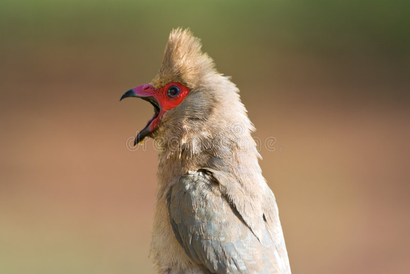 Indicus Red-faced di urocolius di mousebird fotografia stock