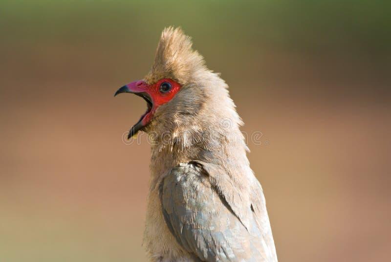 Indicus Red-faced do urocolius do mousebird foto de stock