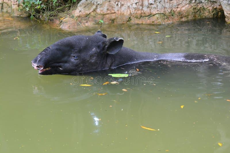 Indicus Tapirus Malayan тапира в воде стоковые фотографии rf