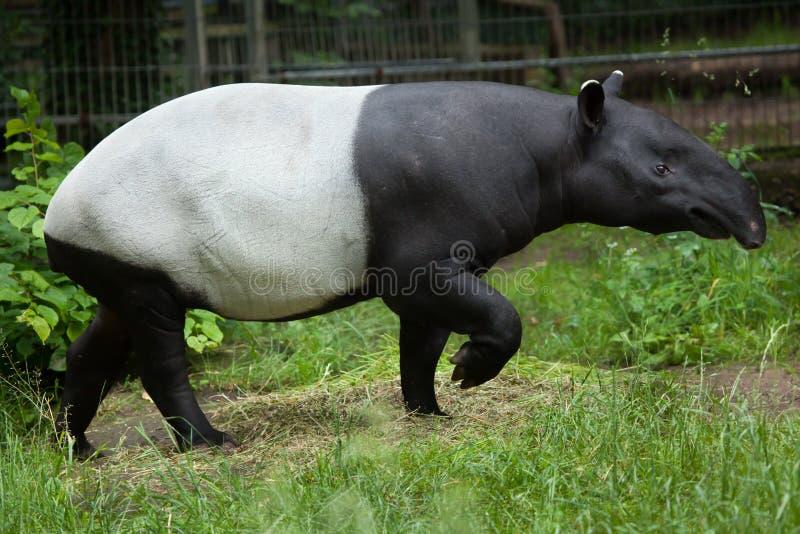 Indicus Tapirus Malayan тапира стоковые фото