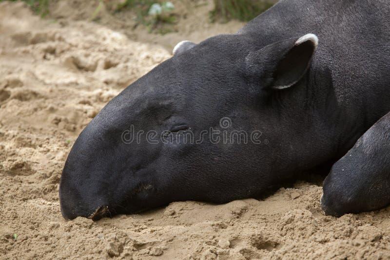 Download Indicus Tapirus Malayan тапира Стоковое Фото - изображение насчитывающей млекопитающие, отдыхать: 81810360