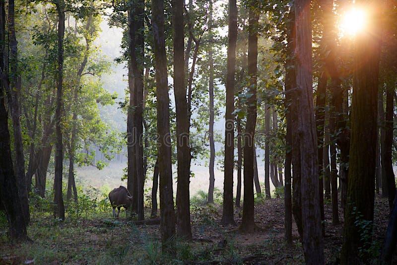 Indien Gaur en arbres et branches de Forest With Sun Flare Through photos libres de droits