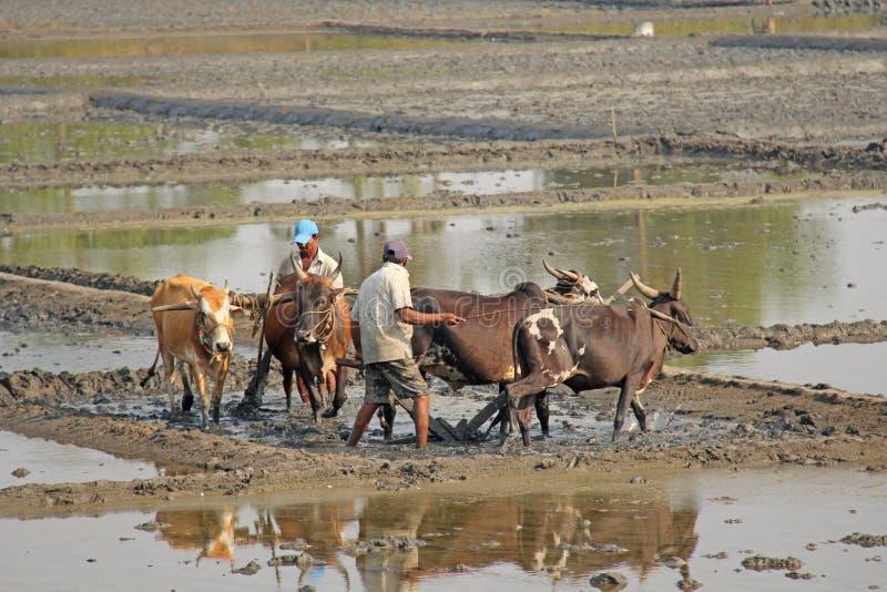 Indien GOA, Januari 19, 2018 Manliga arbetare plogar risfältet med ploger och tjurar eller oxar Ploga risfältet med en plog och royaltyfri foto