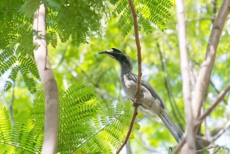 Indien Grey Hornbill étant perché sur l'arbre louche image libre de droits