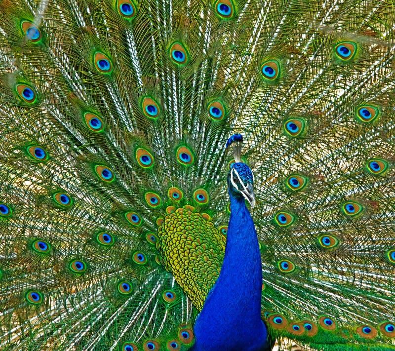 Indien peafowl arkivbilder