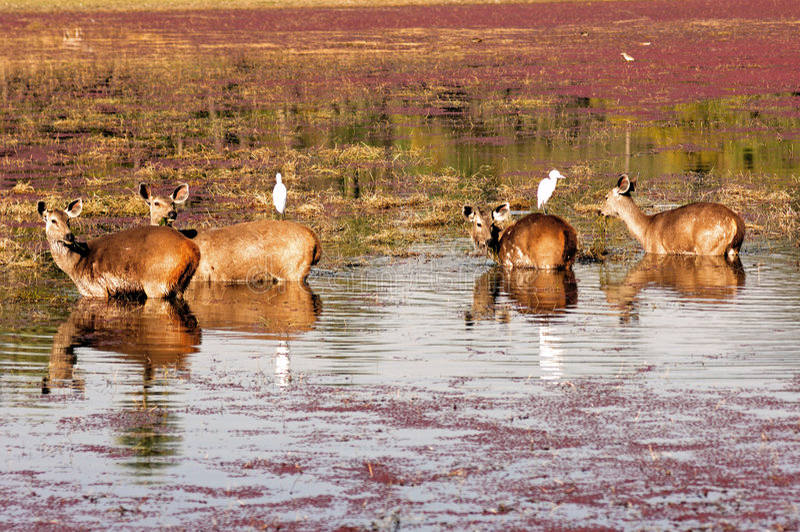 Indien, Ranthambore: Deers stockfotos