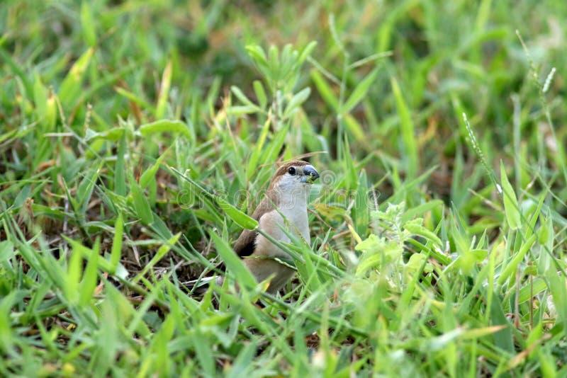 Indien Silverbill photos stock