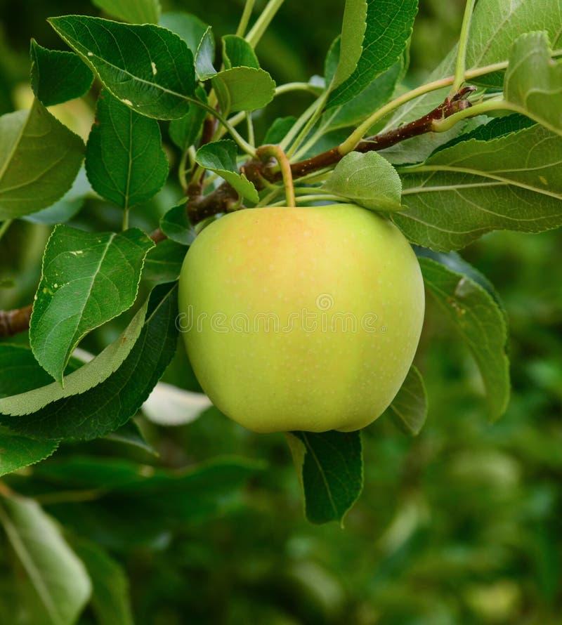 Indier-Apple i en fruktträdgård royaltyfria bilder