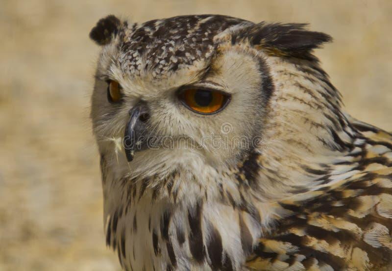 Indier Eagle Owl royaltyfria bilder