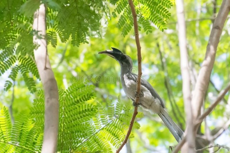 Indier Grey Hornbill som sätta sig på skuggigt träd royaltyfri bild