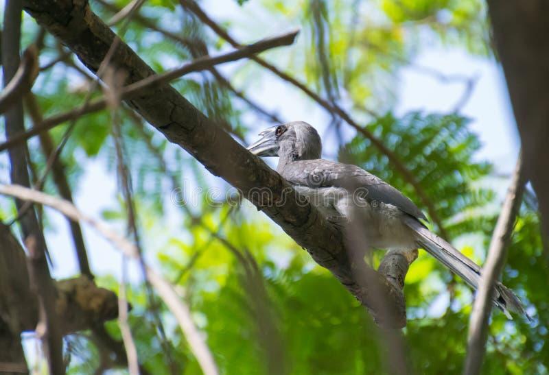 Indier Grey Hornbill som sätta sig på skuggigt träd arkivfoton