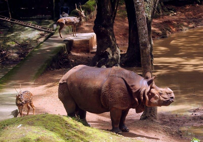 Indier Rhynocers och prickiga deers i zoo - 1 arkivfoton