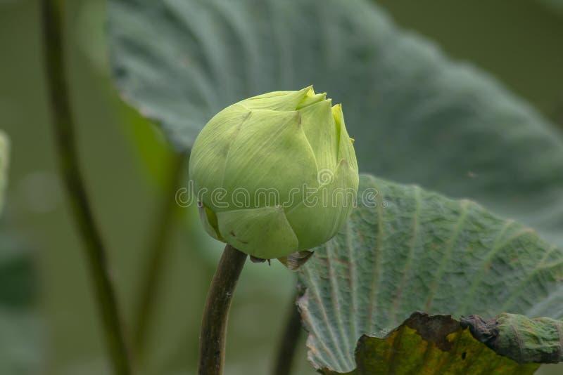Indiern Lotus i naturblommor är stor arkivfoto