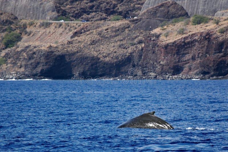 Indietro della balena di Humpback con il litorale fotografia stock libera da diritti