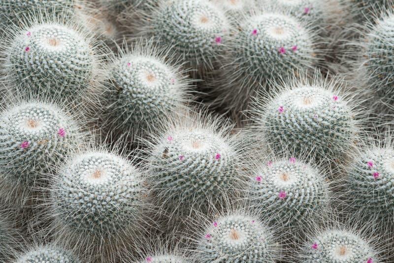 Indigène fleurissant d'usine de cactus vers le Mexique central photographie stock libre de droits