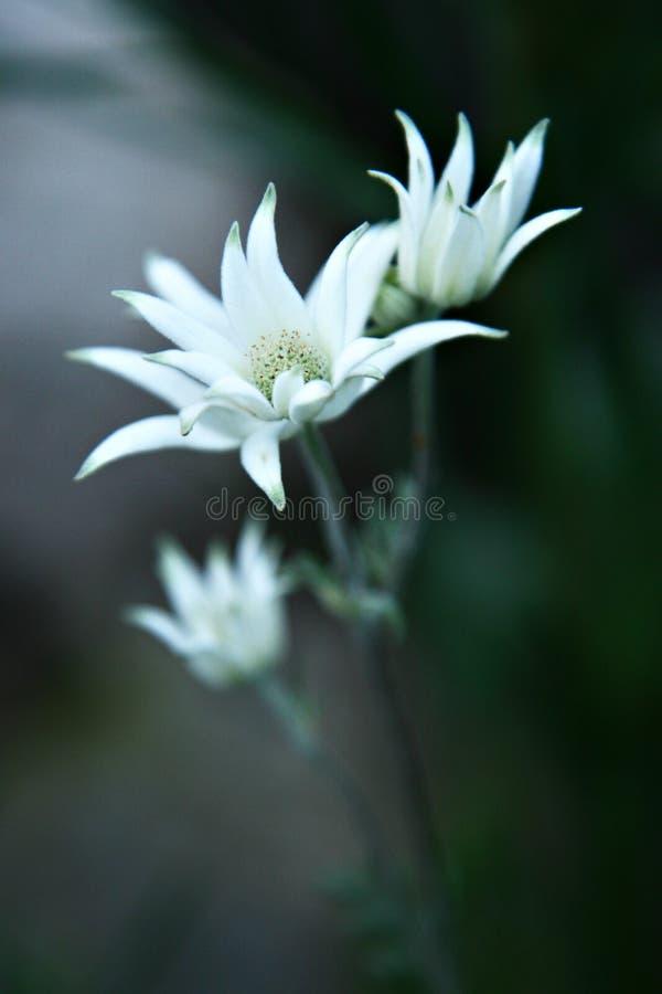 Indig?ne stup?fiant de fleur de flanelle vers l'Australie photo stock