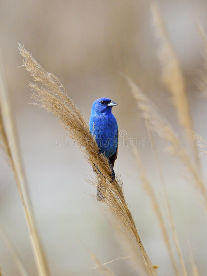 Indigo Bunting. Standing on the reeds along the marsh stock photos