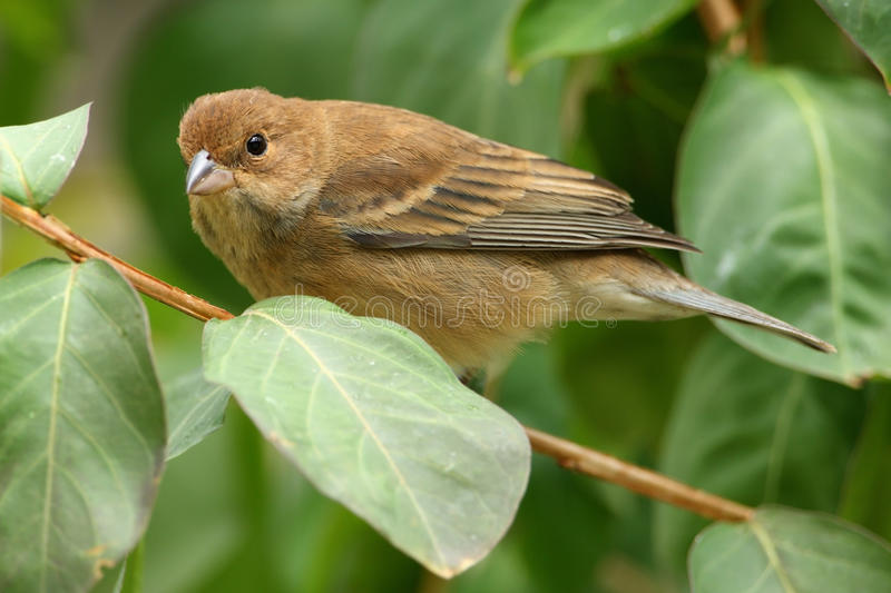 Indigo Bunting. Female in a myrtle tree royalty free stock images