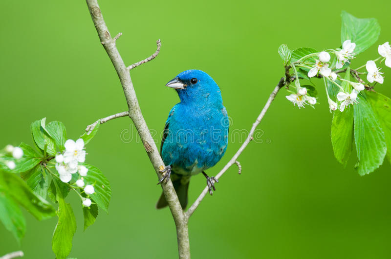Indigo Bunting. Perched on a branch royalty free stock images