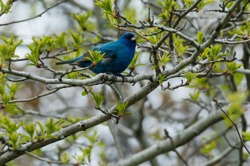 Indigo Bunting. Perched high up in a tree stock images