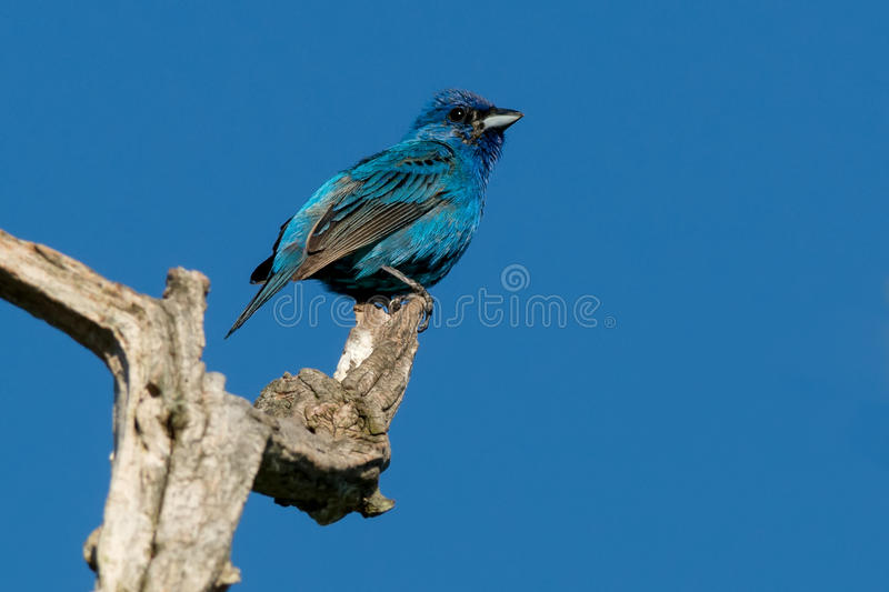 Indigo Bunting. Perched at the top of a dead tree stock images
