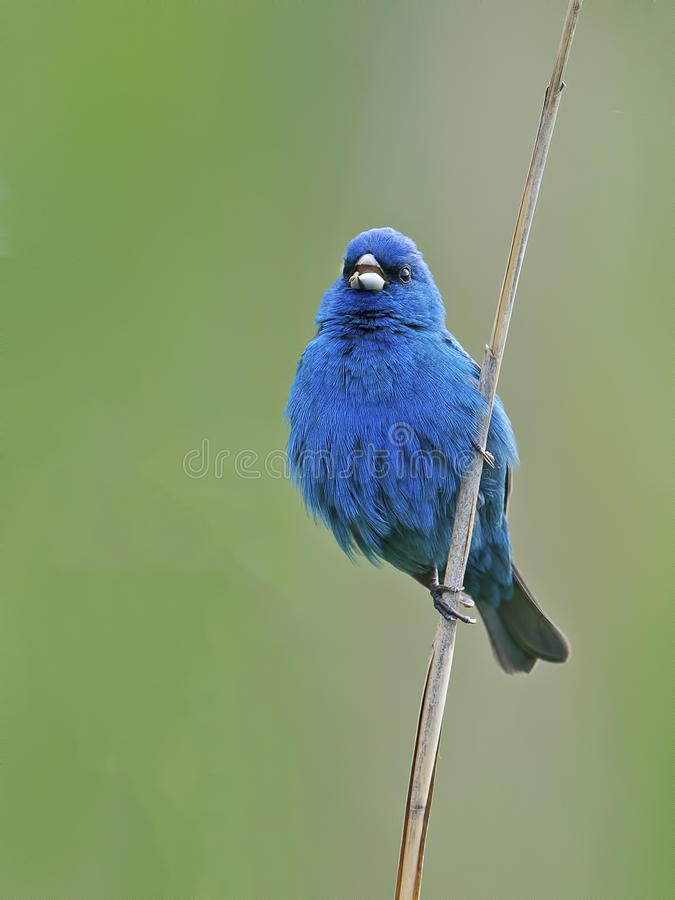 Indigo Bunting. Standing on a reed stock images