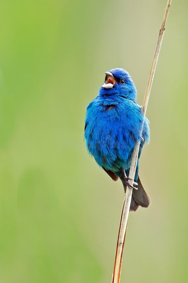 Indigo Bunting. Standing on the reeds along the marsh singing stock photo