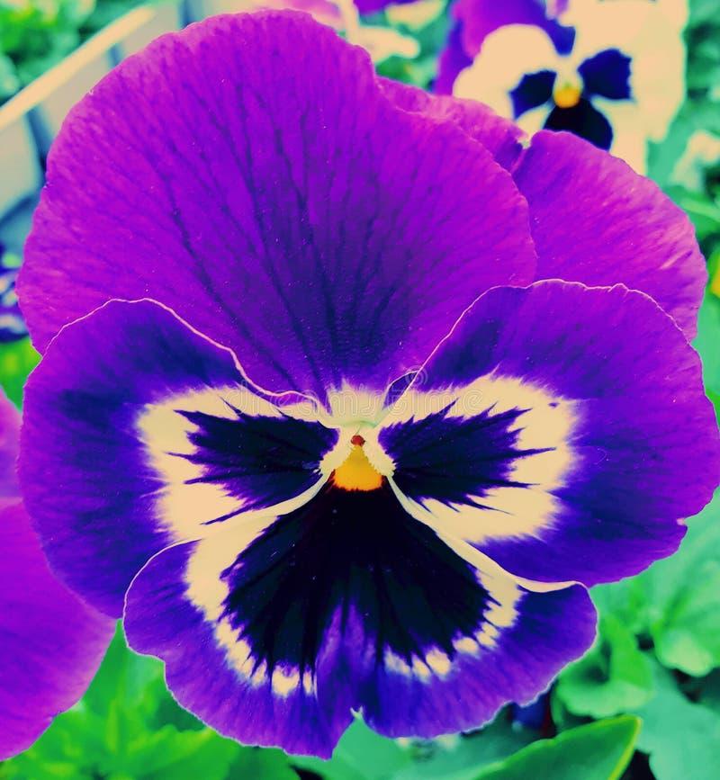Indigo trillend die viooltje, in Bloemfontein, Zuid-Afrika wordt gefotografeerd stock afbeeldingen