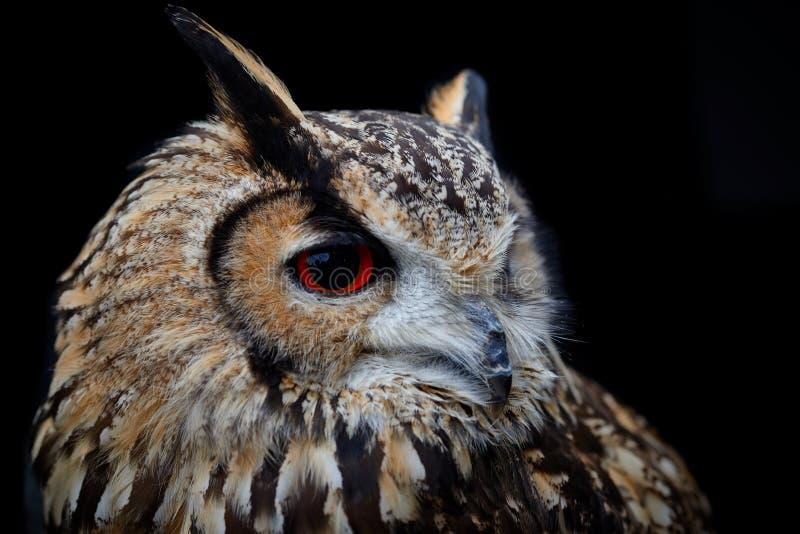Indio Eagle Owl With Red Eyes imagen de archivo libre de regalías