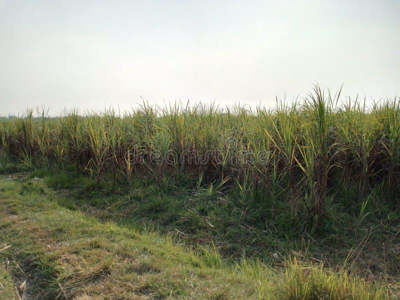 Indisch de rijstgewas van het padiegebied stock afbeelding