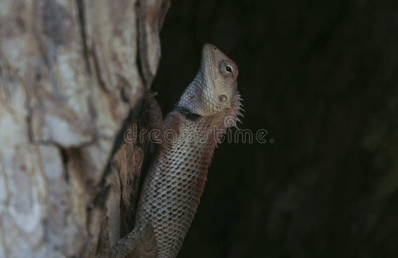 Indisch kameleon royalty-vrije stock afbeeldingen