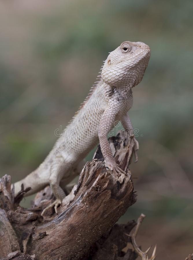 Indisch kameleon royalty-vrije stock foto