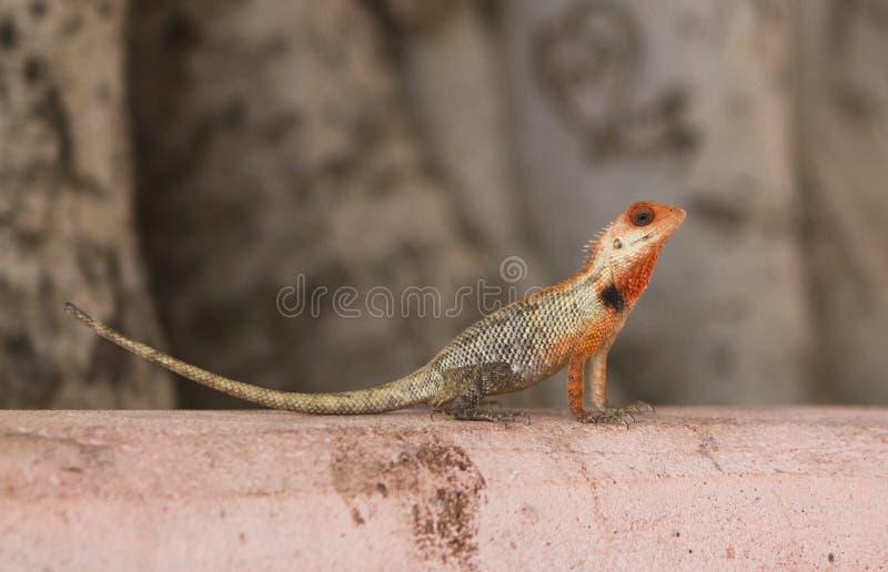Indisch kameleon royalty-vrije stock foto's