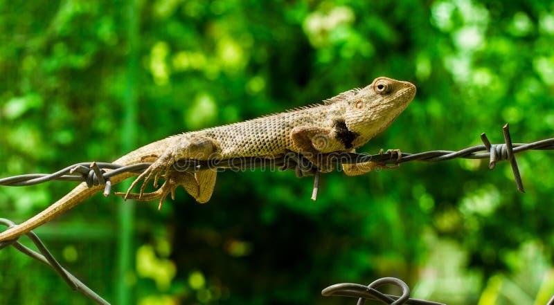 Indisch kameleon royalty-vrije stock afbeelding