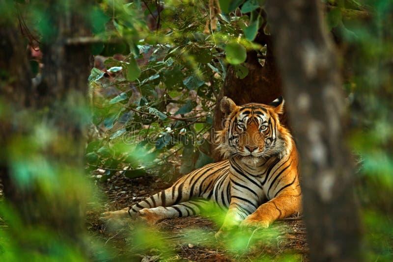 Indisch tijgermannetje met eerste regen, wild dier in de aardhabitat, Ranthambore, India Grote kat, bedreigd dier Eind van droog  royalty-vrije stock foto