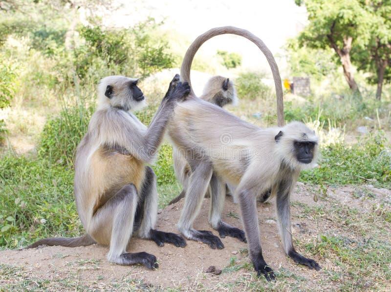 Indische aap stock foto