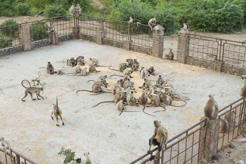 Indische aap royalty-vrije stock foto's