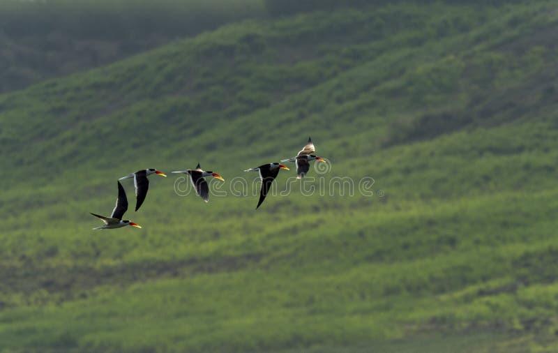 Indische Abstreicheisen scharen sich, Chambal-Fluss, Rajasthan, Indien lizenzfreie stockfotografie