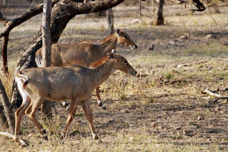 Download Indische Antilope stockbild. Bild von park, wild, indisch - 96931369