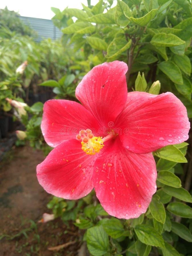 Indische de tuin mooie bloemen van het dorpsleven stock fotografie