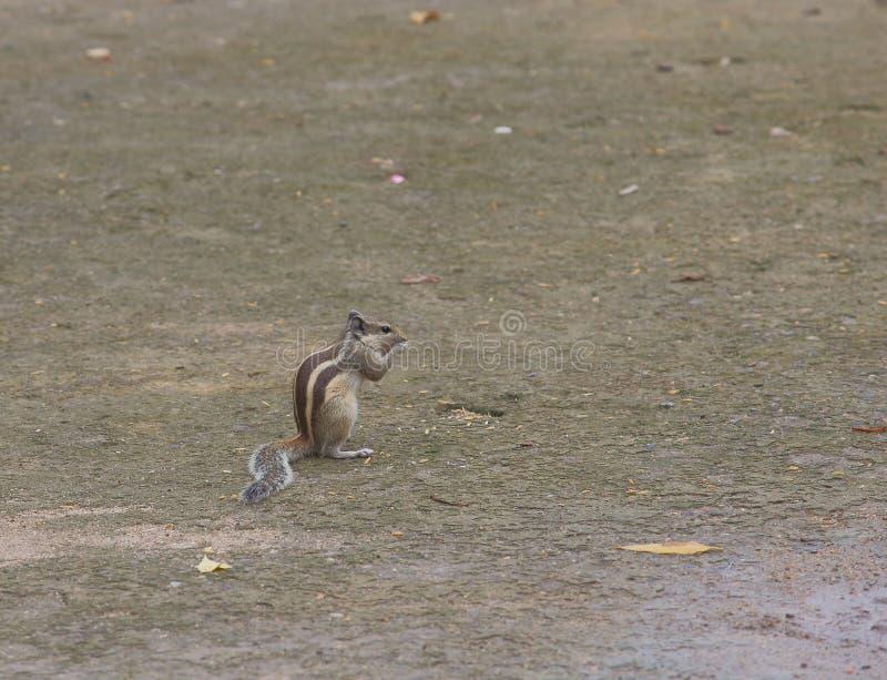 Indische eekhoorn stock afbeeldingen