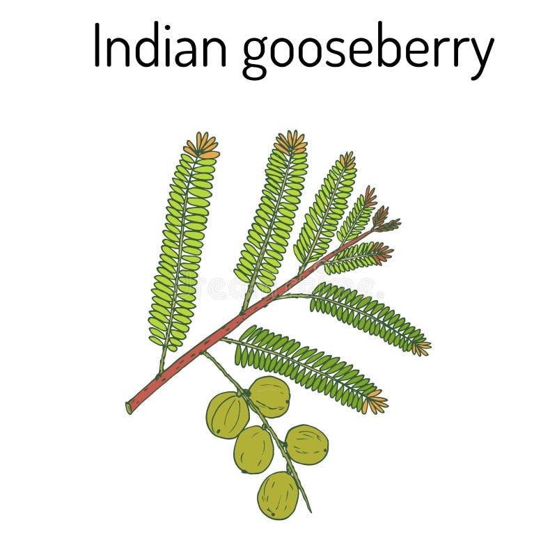 Indische emblica van kruisbesphyllanthus, of emblic myrobalaan, de robalan, boom van Malacca, amla met bladeren en bessen royalty-vrije illustratie