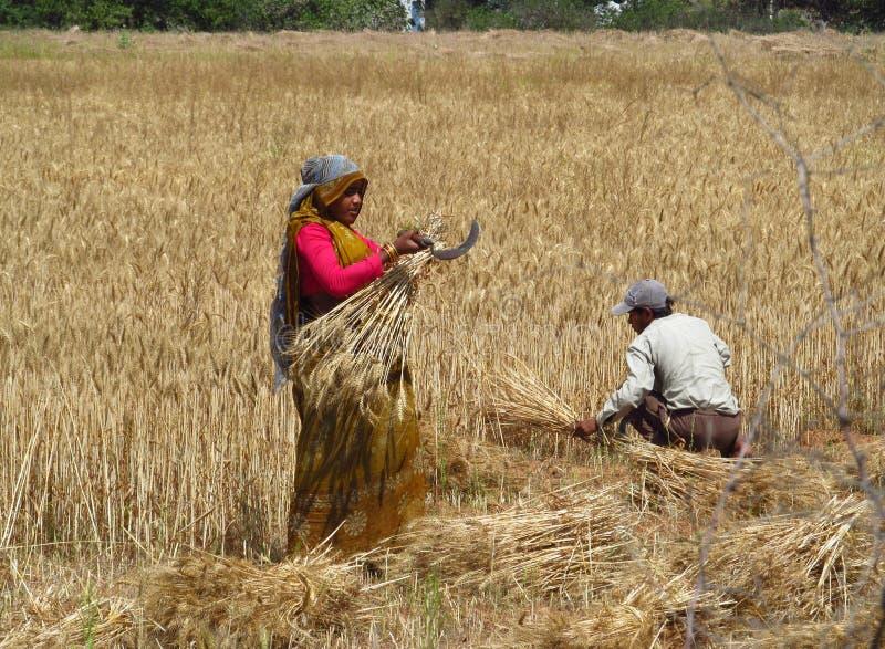 Indische Frau, die auf dem Gebiet arbeitet stockfotografie