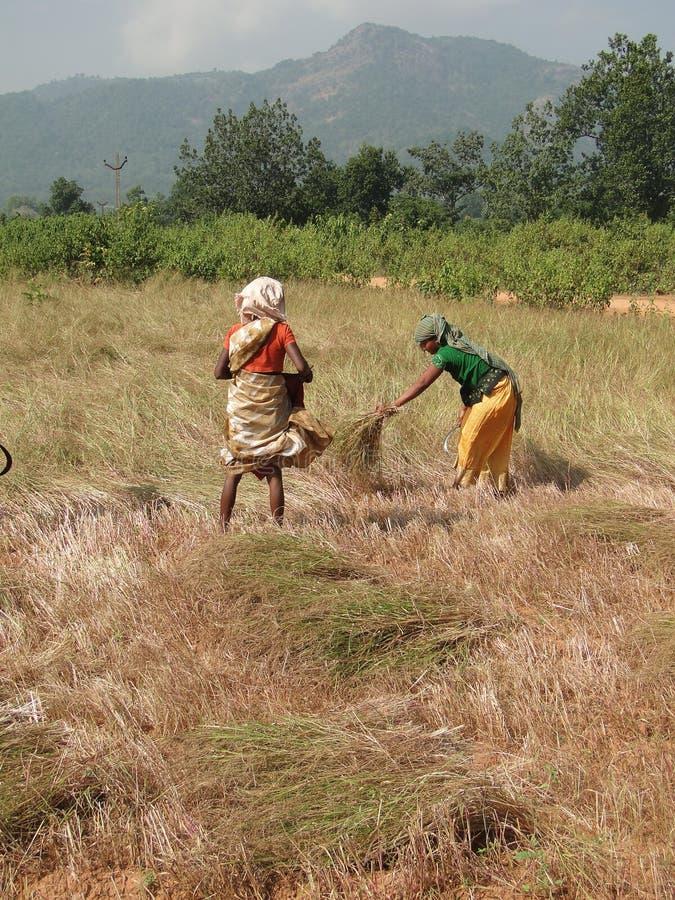 Indische Frauen ernten Sesamstartwert für zufallsgenerator lizenzfreies stockfoto