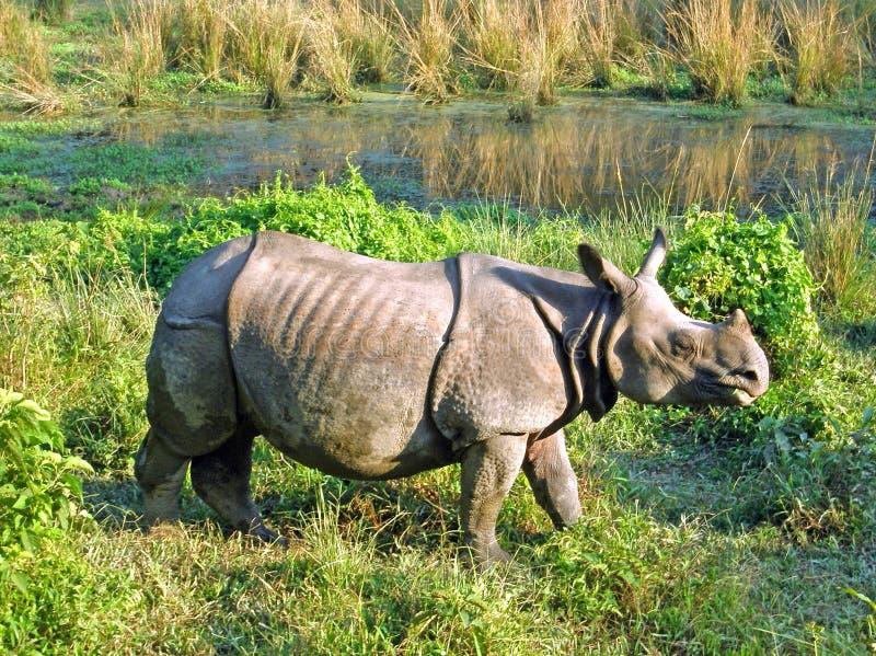 Indische gehoornde rinoceros stock afbeelding