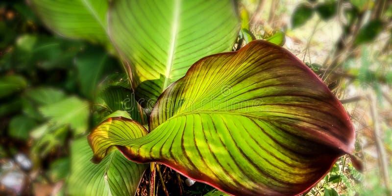 Indische geschotene bladeren in het bos stock foto's